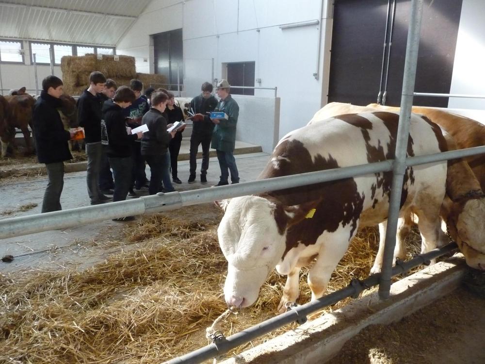 Eine Führung durch den Rinderzuchtviehmarkt